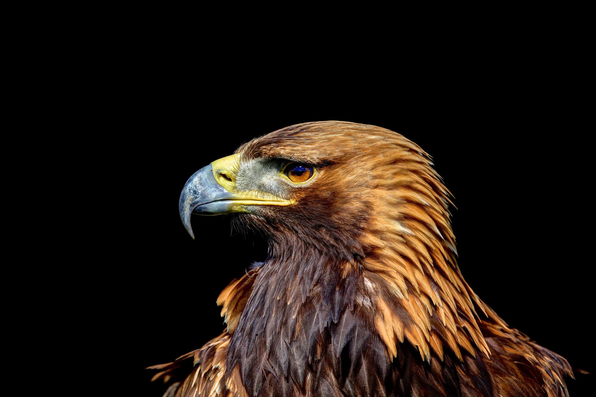Обои орёл, хищник, птица