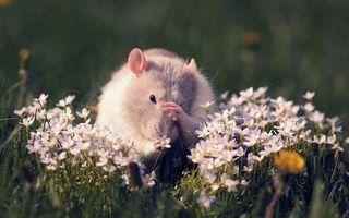 Бесплатные фото мышь,морда,лапы,шерсть,нюхает,цветы