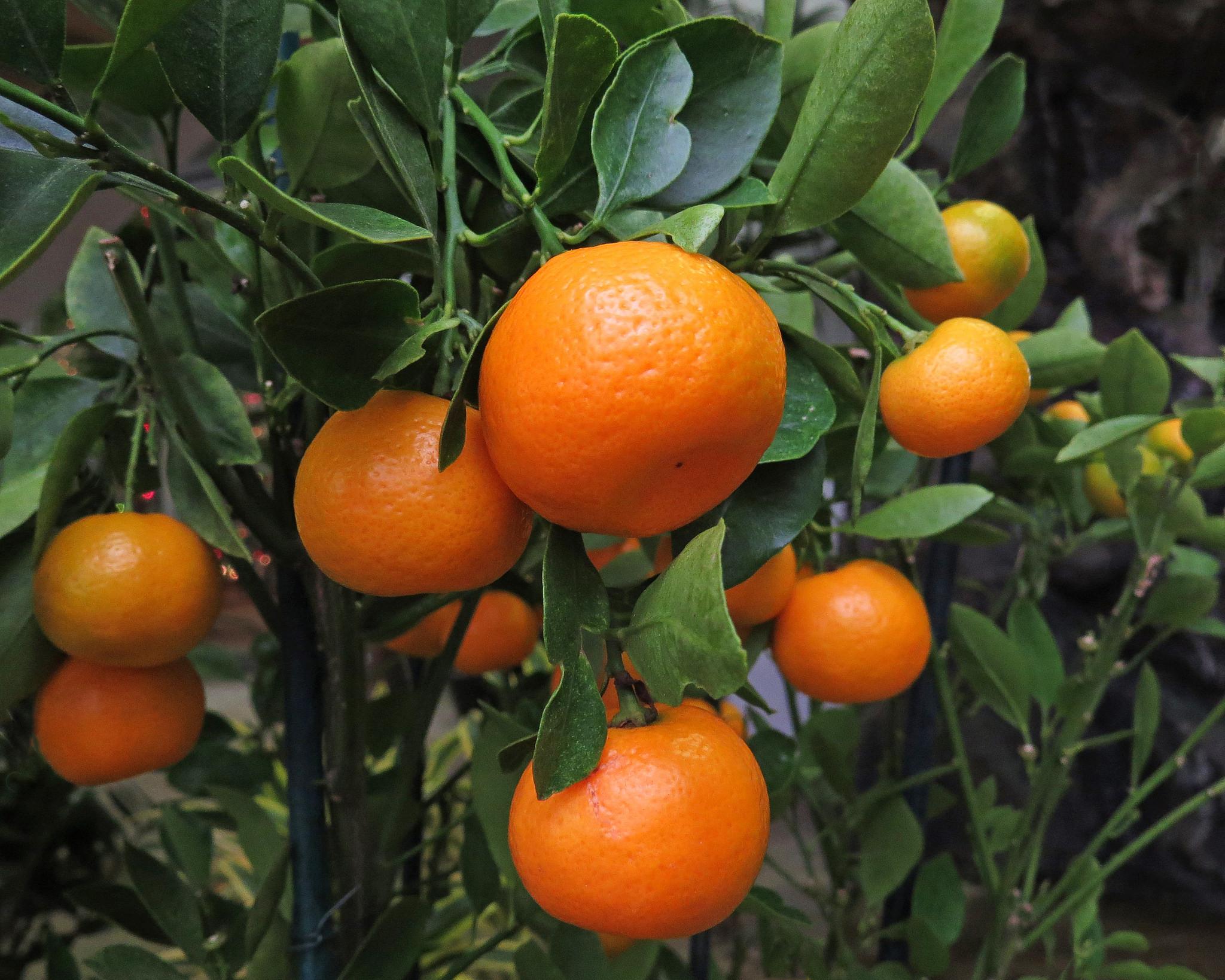 обои мандарины, дерево, листья, плоды картинки фото