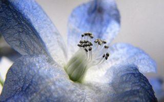 Обои цветок, лепестки, голубые, прожилки, пестики, тычинки