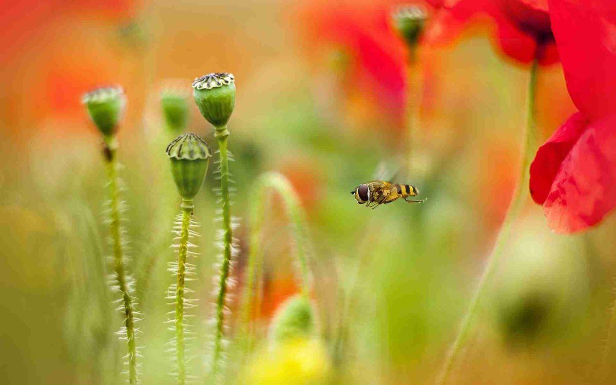 Фото бесплатно пчела, крылья, лапки, полет, цветы, мак, коробочки, насекомые