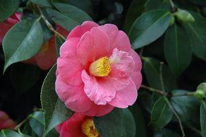 Photo free Camellia Japonica, flora, macro