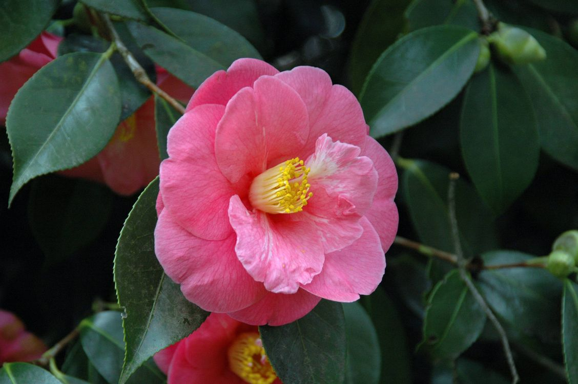 Фото бесплатно Камелия японская, флора, макро - на рабочий стол