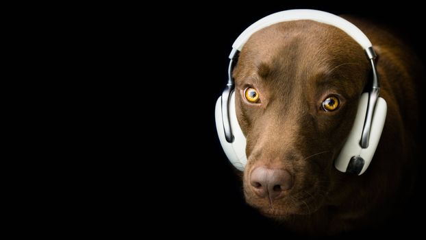 Photo free dog, a dog with headphones, music