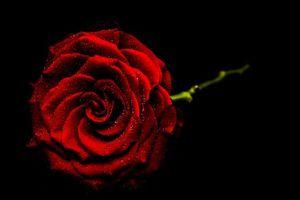 Фото бесплатно цветок, чёрный фон, цветы
