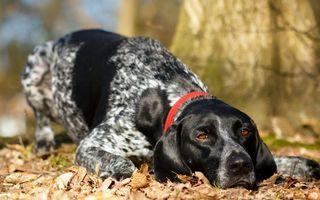 Бесплатные фото пес, морда, глаза, лапы, ошейник, шерсть, листва