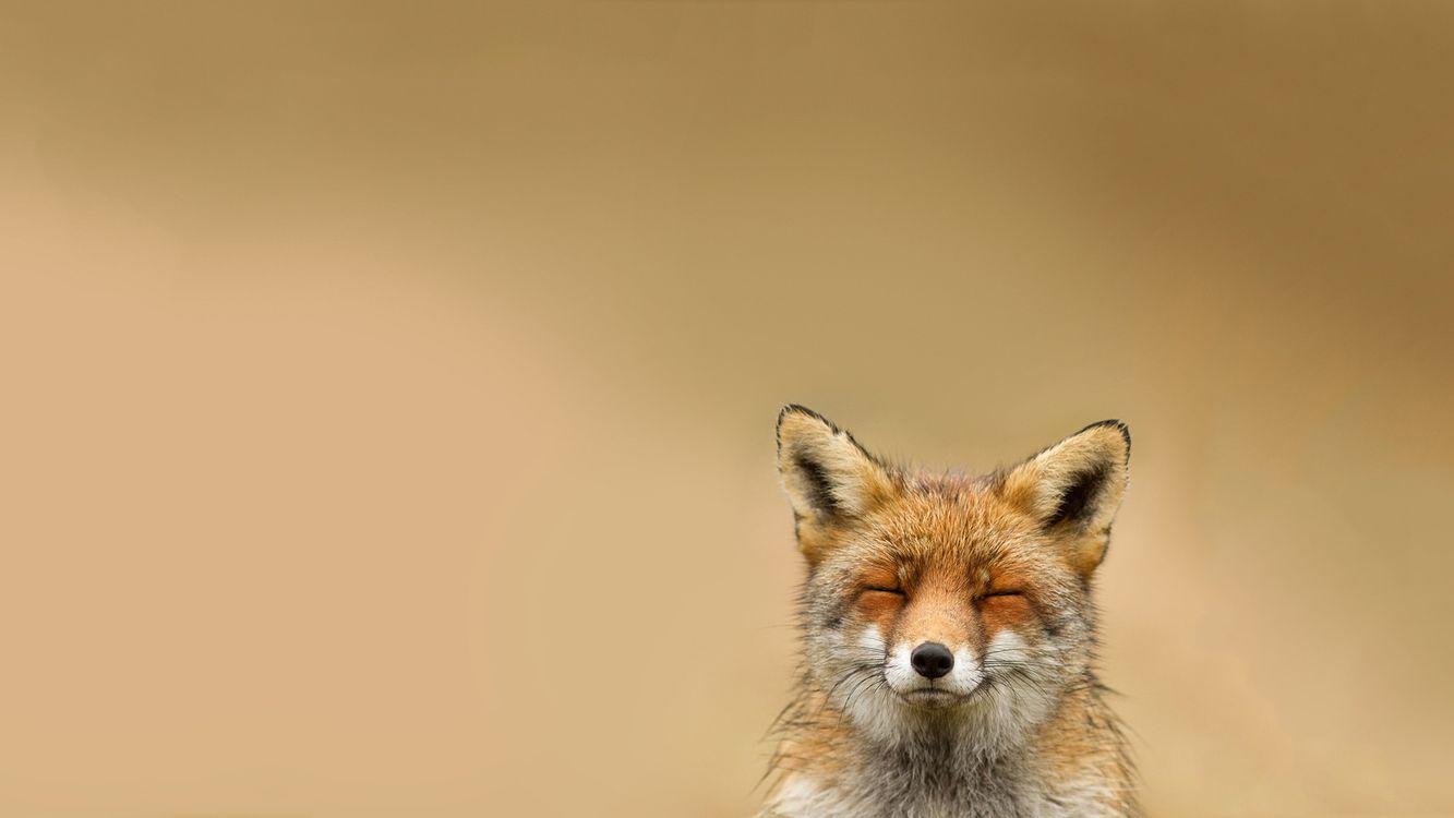 Фото бесплатно лиса, рыжая, шерсть, морда, уши, глаза, закрытые - на рабочий стол