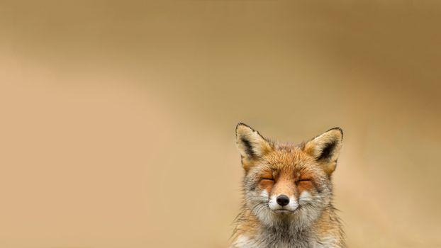 Фото бесплатно лиса, рыжая, шерсть