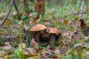 Заставки подосиновики, лес, грибы