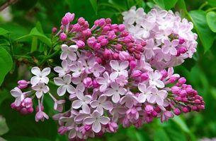 Бесплатные фото Сирень,Цветы,Весна
