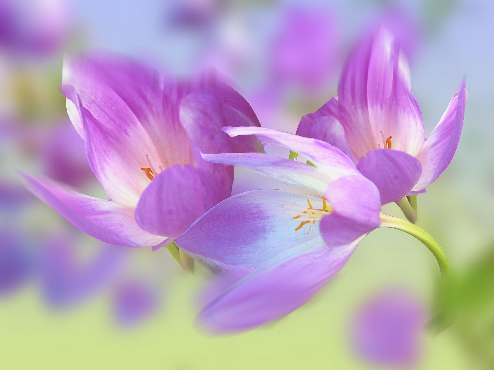обои крокусы, цветы, флора картинки фото