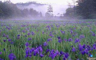 Бесплатные фото поле,цветы,ирисы,деревья,туман