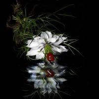 Фото бесплатно божья коровка, цветок, отражение