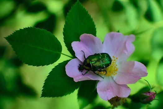 Бесплатные фото цветок,роза,жук,флора,макро