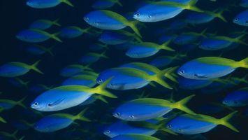 Фото бесплатно рыбы, синие, косяк