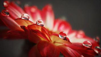 Обои цветок, лепестки, красные, вода, роса, капли