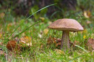 Бесплатные фото подберёзовик,трава,гриб,природа