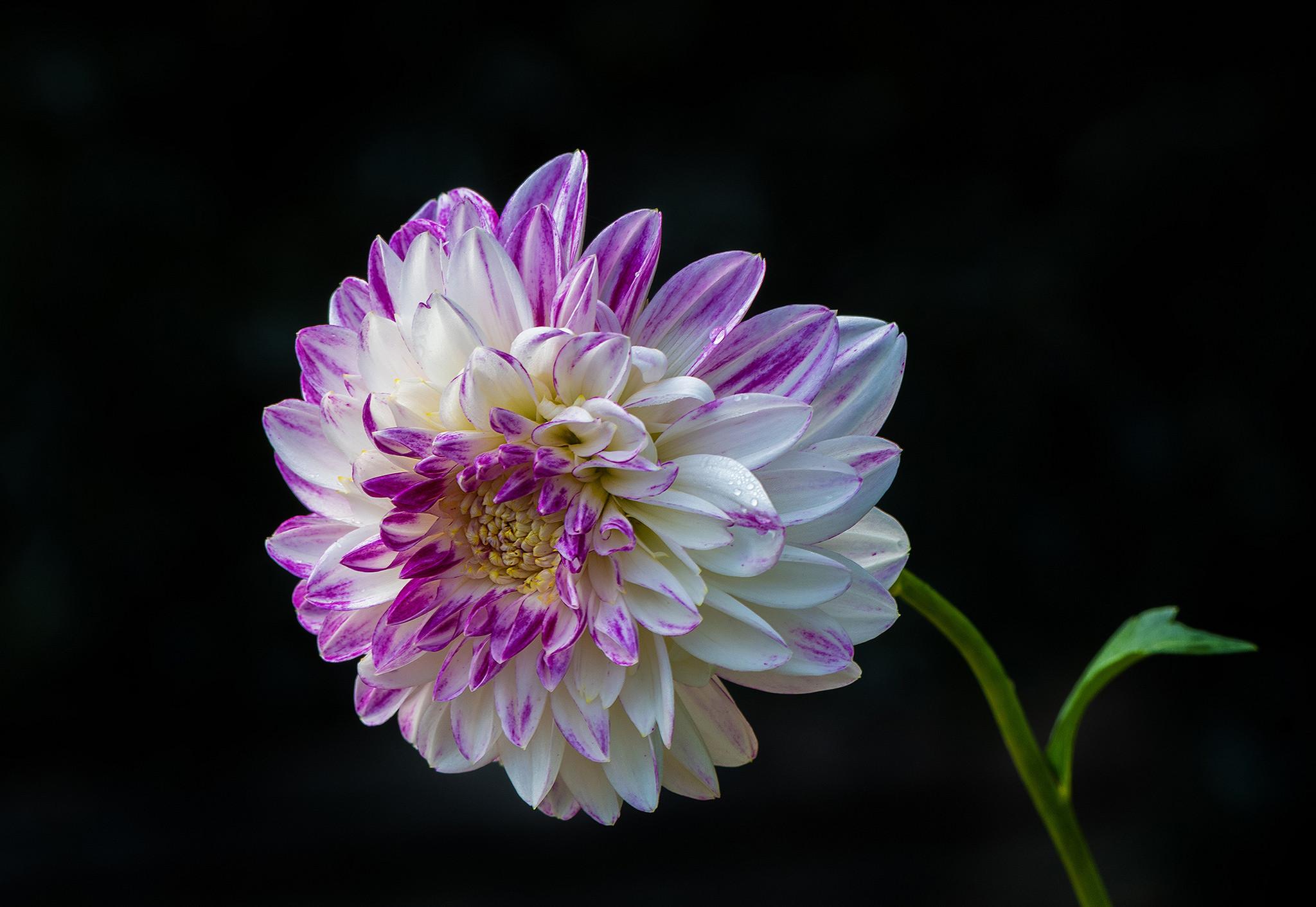 обои георгин, цветок, флора картинки фото