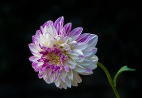 Фото про георгин, цветок