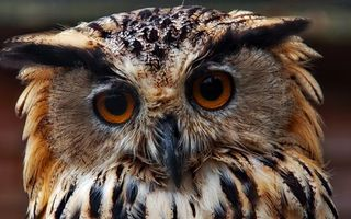 Photo free eagle owl, beak, eyes