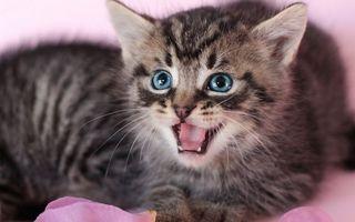 Бесплатные фото котята,серые,морда,оскал,язык,зубы,шерсть