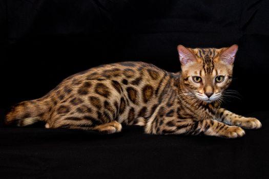 Photo free breed, Bengal, pattern