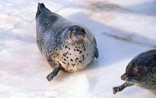 Бесплатные фото тюлени,морды,усы,ласты,плавники,лед