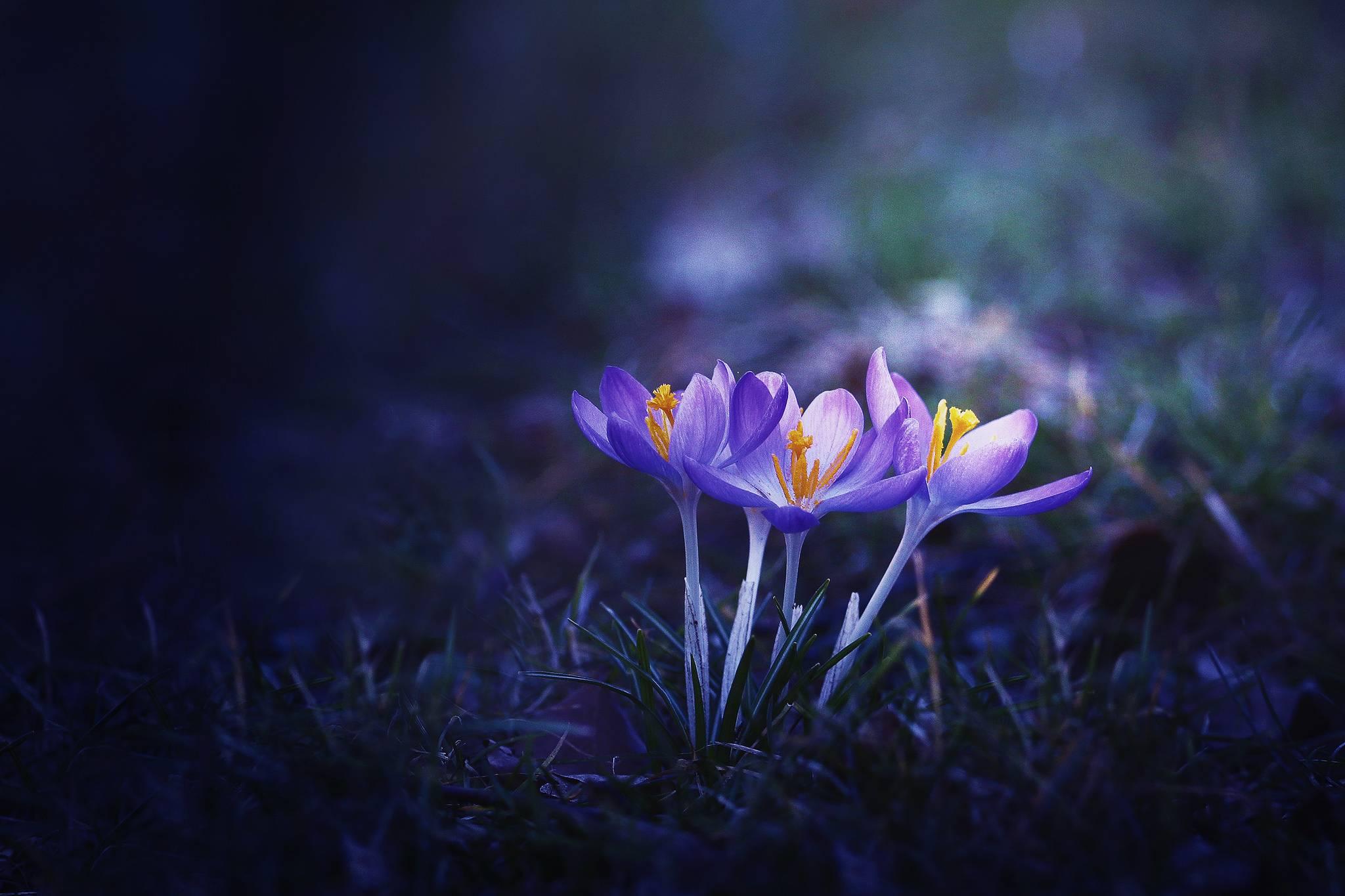цветы, крокусы, флора