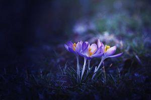 Фото бесплатно цветы, крокусы, флора