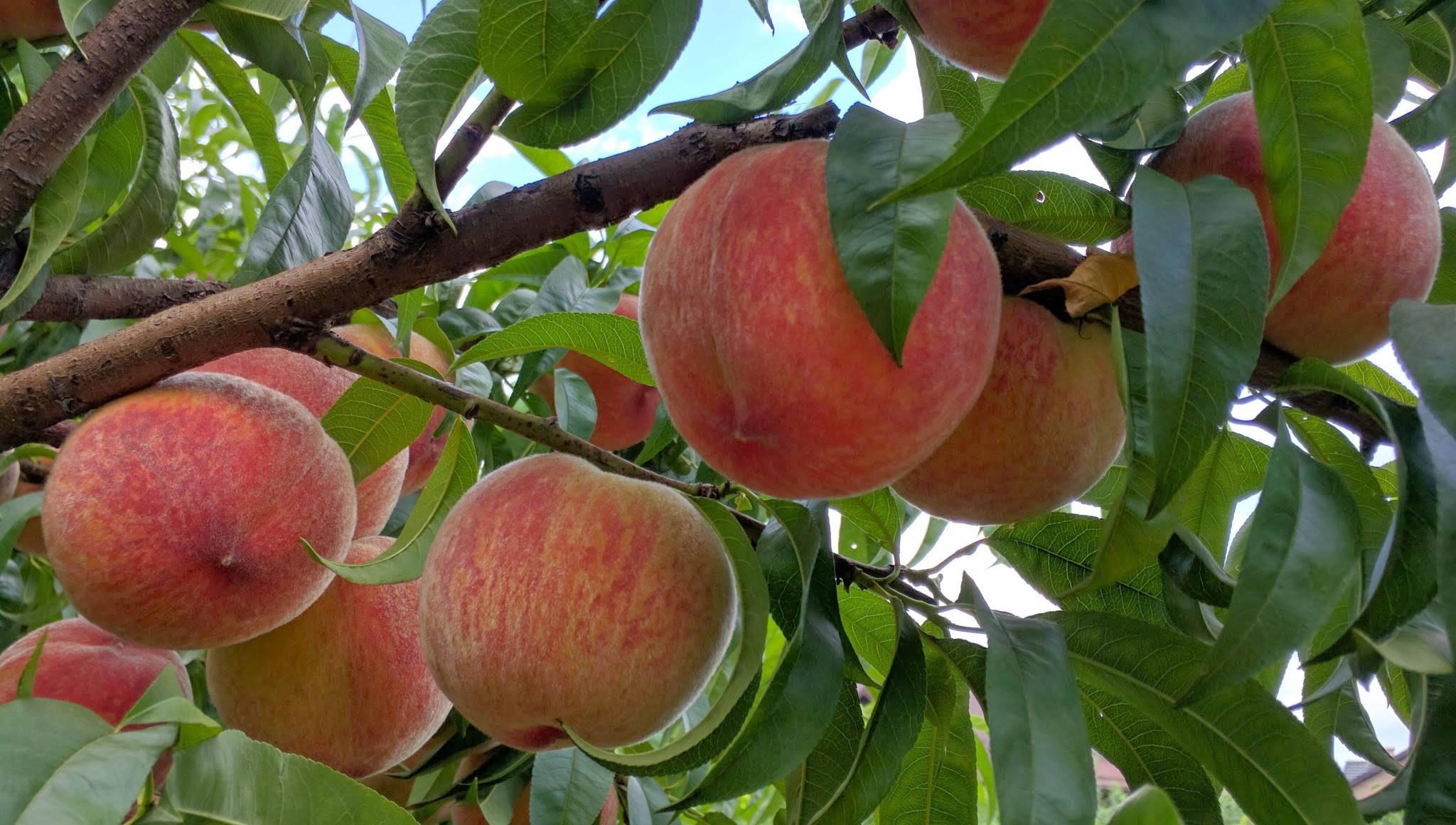 обои персики, ветки, листья, природа картинки фото