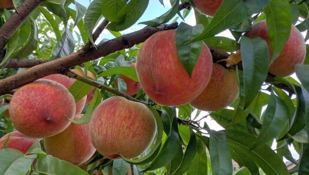 Фото бесплатно персики, ветки, листья