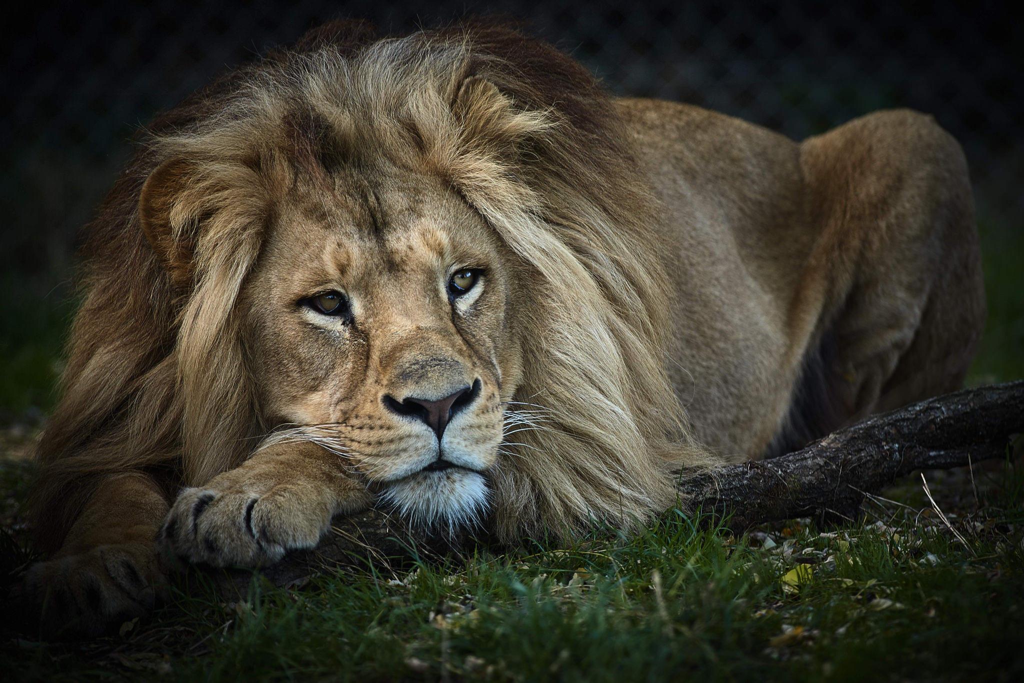 Обои лев, хищник, животное