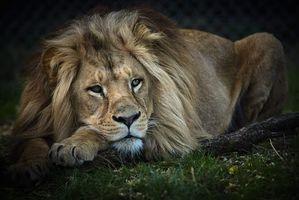 Заставки лев, хищник, животное