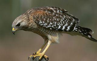 Бесплатные фото сокол,глаза,клюв,перья,крылья,хвост,лапы