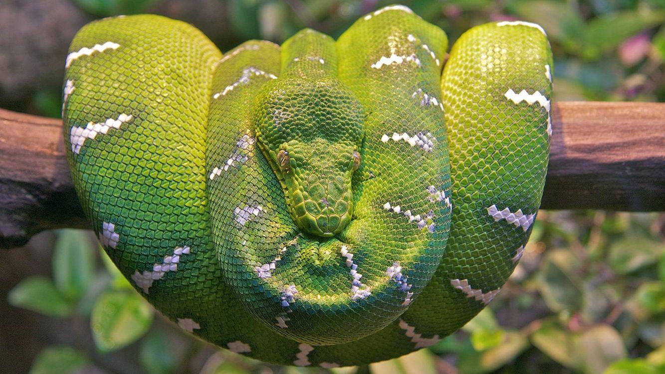 Фото бесплатно змея, шкура, чешуя, зеленая, узор, ветка - на рабочий стол