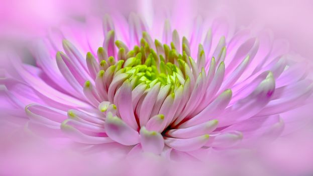 георгин, цветок, флора, макро, dahlia-pink