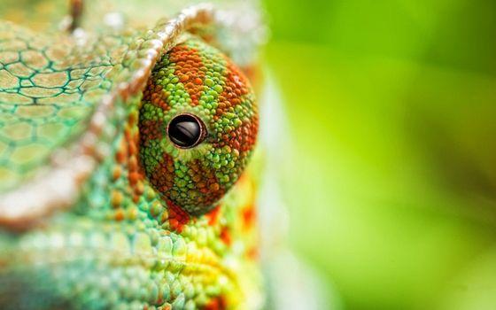 Фото бесплатно хамелеон, зеленый, оранжевый