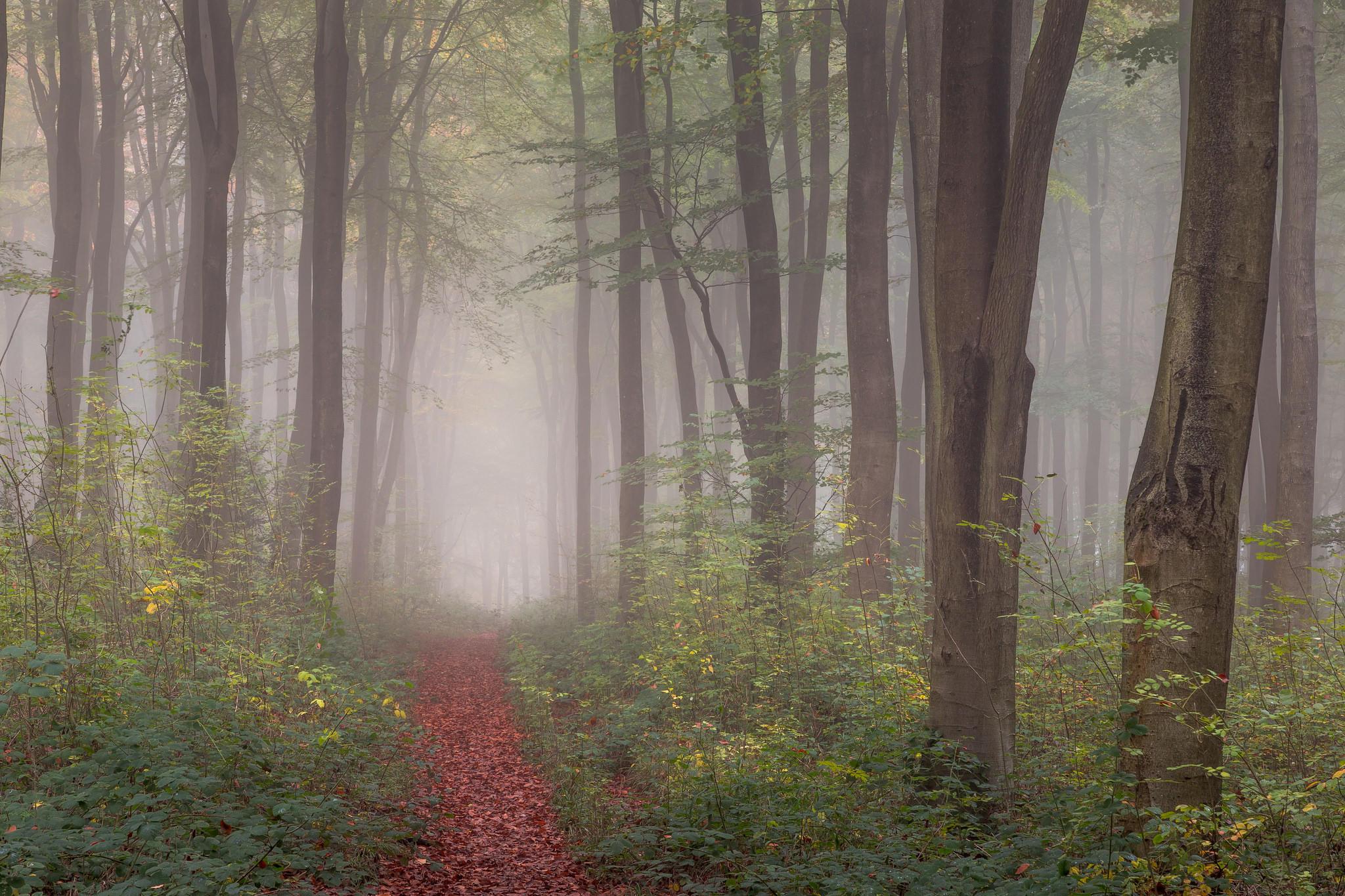 Обои лес, деревья, тропинка, туман