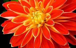 Фото бесплатно георгин, цветок, макро