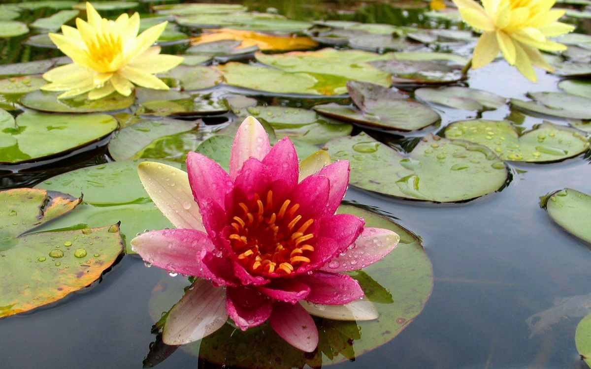 Фото бесплатно водоем, листья, зеленые, лотосы, лепестки, желтые, розовые, цветы