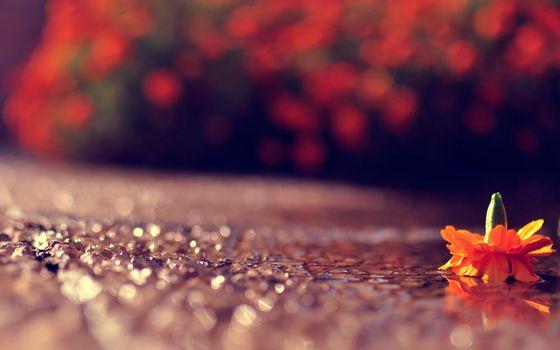 цветок, асфальт, лужа