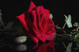 Бесплатные фото роза,красная,макро