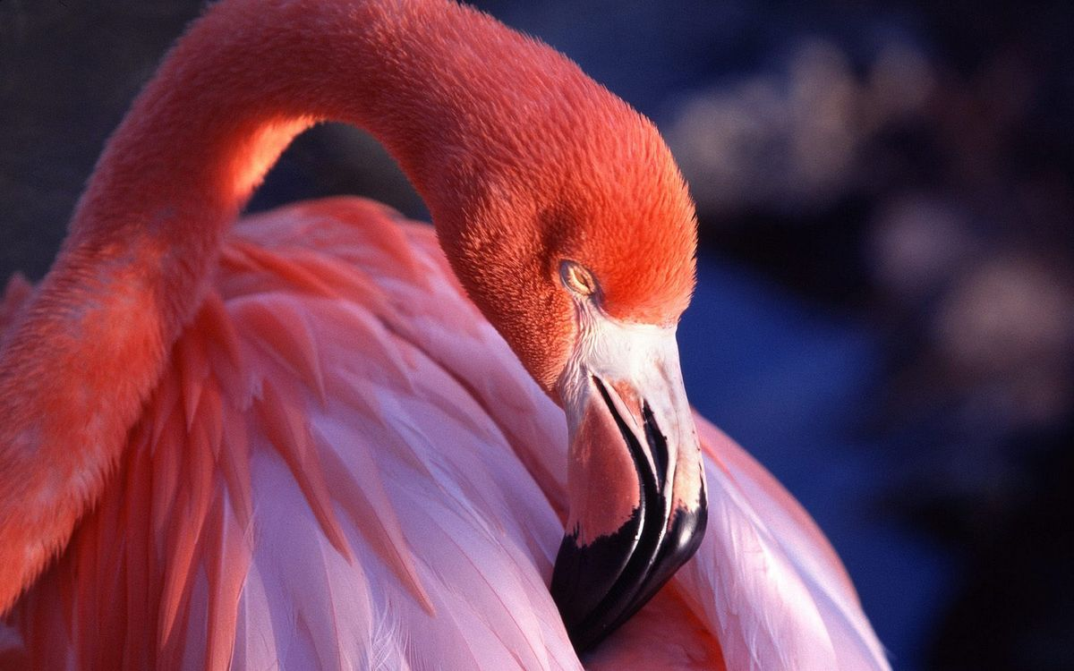 Free photo flamingo, pink, neck - to desktop
