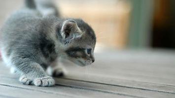 Бесплатные фото котенок,серый,морда,лапы,уши,шерсть