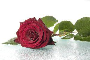 Фото бесплатно флора, капли, роза