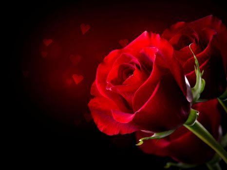 Фото бесплатно красные лепестки, красные бутоны, роза