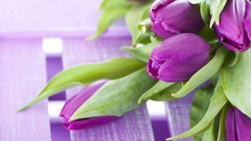 Бесплатные фото тюльпаны,бутоны,лепестки,фиолетовые,листья,зеленые
