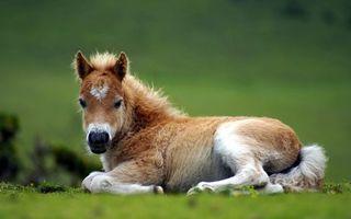 Фото бесплатно пони, отдых, поле