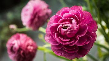 Фото бесплатно пионы, лепестки, розовые, стебли, зеленые