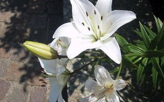 Бесплатные фото лилии,лепестки,белые,пестики,тычинки,листья,зеленые